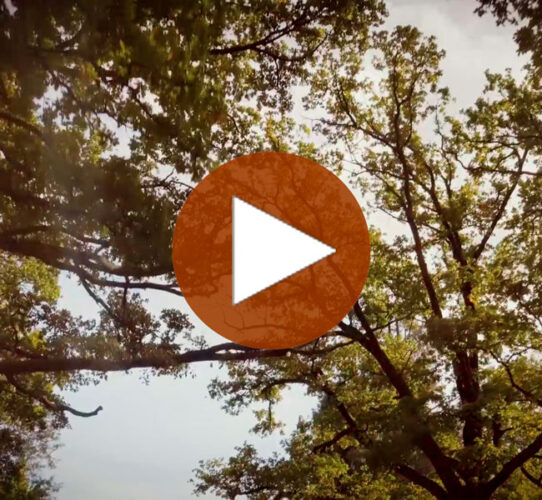Talking Trees – Die Eiche